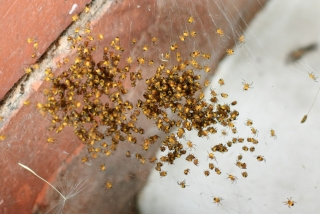 Baby yellow spiders (closer)