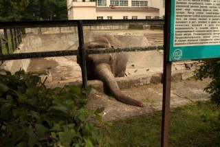 Elephant in Enclosure